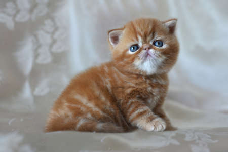 Beautiful funny red kitten breed exotic Shorthair closeup. Design concept of childrens background and home comfort.