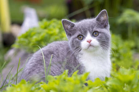 British Shorthair kitten sitting in the grass and looking at the camera. The concept of walks in the fresh air.