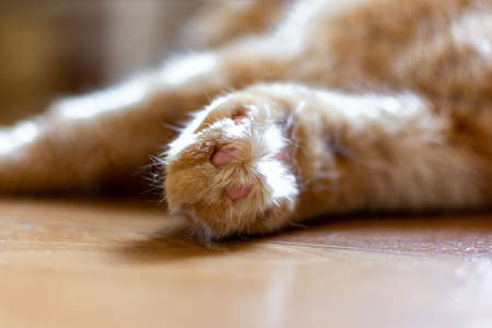 Beautiful close - up paws red cat who is at home. Beautiful background of healthy nature.
