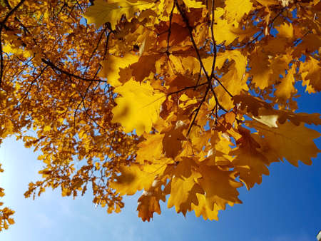 Autumn yellow oak leaves against the blue sky. The concept of Golden autumn. Stok Fotoğraf
