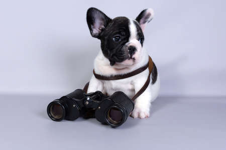 French bulldog puppy with binoculars on grey background. The concept of travel Stok Fotoğraf