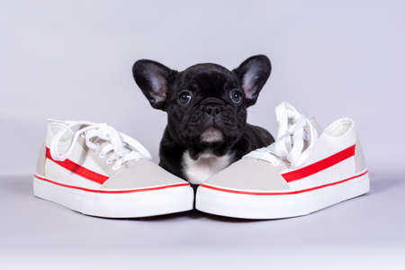 Little French bulldog puppy with boots on grey background. the concept of sports activities, walks in the Park in nature. Stock Photo