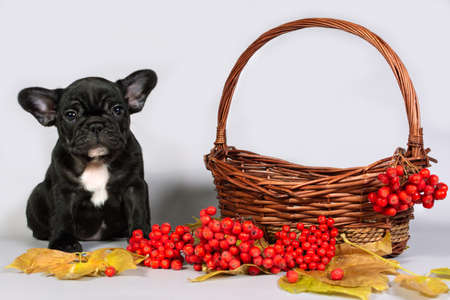 Portrait of a French bulldog puppy in a basket with autumn leaves and red Rowan. Stock Photo