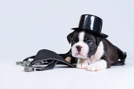 A small Boston Terrier puppy lies in a black top hat and suspenders on a gray background.