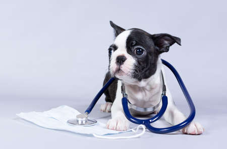 Small dog Boston Terrier puppy, as a veterinarian wearing a stethoscope and a medical mask, isolated on a gray background. The concept of treatment, colds, virus season.
