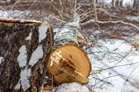 A birch tree is lying on the ground in the snow after working as a logger with a chainsaw. The concept of harvesting old trees.