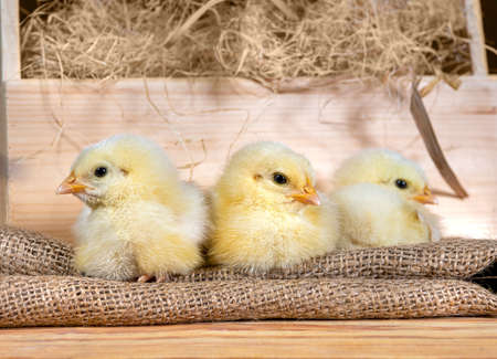 Cute downy newborn chickens on hay in a wooden box. Easter scene, farm lifestyle Banco de Imagens