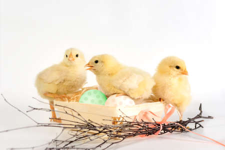 Three Chicks in a nest with colorful eggs. Easter Chick Isolated Set Foto de archivo