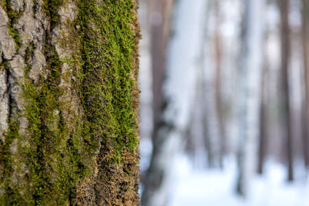 The bark of an old tree with green moss on the background of a winter forest.
