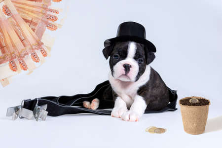 A small Boston Terrier puppy in a black hat looks at the coins and dreams of income. The concept of financial crisis Stock Photo