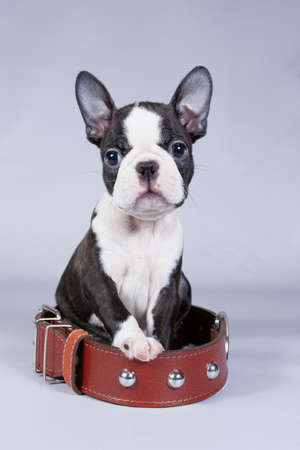 Boston Terrier a small puppy sits in a large collar and looks at the camera on a gray background Imagens