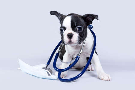 Small dog Boston Terrier puppy, as a veterinarian wearing a stethoscope and a medical mask, isolated on a gray background. Concept of health and quarantine during the viral season Imagens
