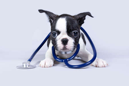 A small Boston Terrier puppy dog like a veterinarian wears a stethoscope isolated on a gray background. The concept of animal health during the viral season. Imagens