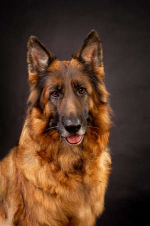 A bright German shepherd with a long coat sits on a black background and looks at the camera