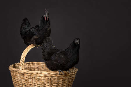 Close up of a black rooster and a chicken on a wicker wooden basket isolated on a black background in the Studio