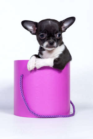Close-up image of a Chihuahua dog sitting in a pink gift box, Valentines Day, anniversary concept