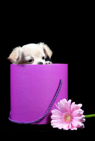 Chihuahua dog small puppy looks out of a pink box, a gift for a happy Valentine's day, isolated on a black background Archivio Fotografico