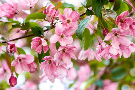 Apple tree in bloom spring rebirth. Pink floral background Фото со стока