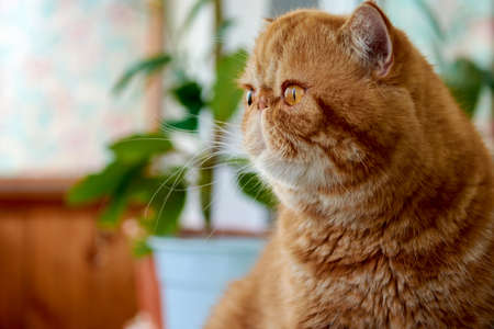 Orange exotic Shorthair adult cat sitting on the balcony. A domestic cat looks out of the window at the street
