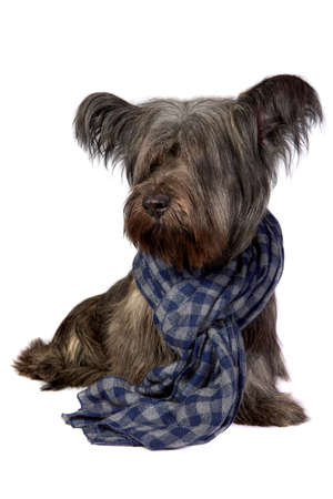 The sky Terrier dog sits in a scarf and looks at the camera isolated on a white background