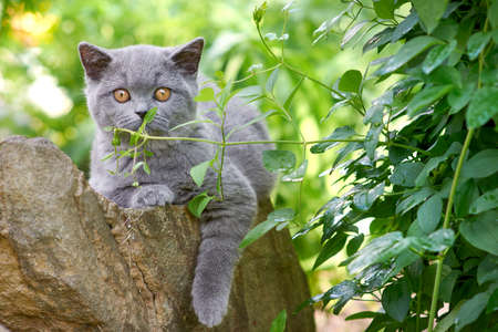 adorable grey fluffy kitten of the British breed walks in the outdoors