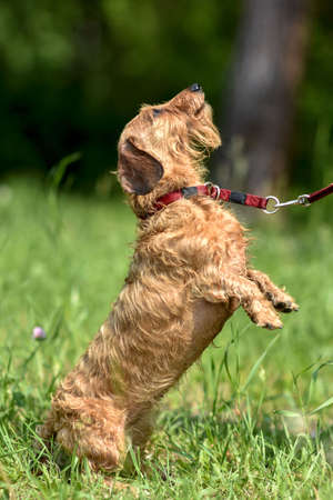 The Dachshund dog sits on its hind legs and asks the owner for a treat on a walk in the Park