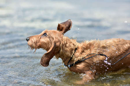 The dog shakes off the water after swimming in the lake. Dog breed wire-haired Dachshund red color