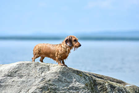 The dog stands on a large rock on the lake shore on a hot summer Sunny day. Dog breed wire-haired Dachshund red color