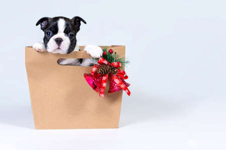 Boston Terrier puppy in a gift paper bag with a bouquet of Christmas trees, cones and bells. Concept of gifts for the New year and Christmas 写真素材