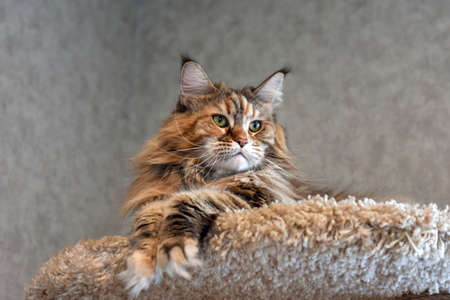 Portrait of a domestic cat breed Maine Coon color cakes on houses for cats. Stockfoto