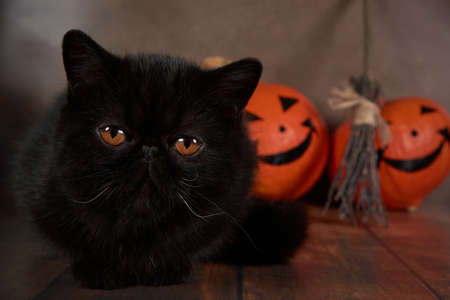 Black cat breed exotic with Halloween pumpkin on brown background.
