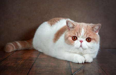 A beautiful exotic Shorthair cat lies on the brown background of the Studio. Color cream with white Stock Photo