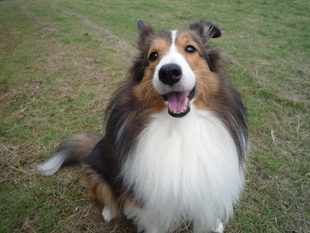 sheepdogs: a smiling dog
