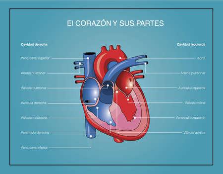 Il cuore e le sue parti Vettoriali