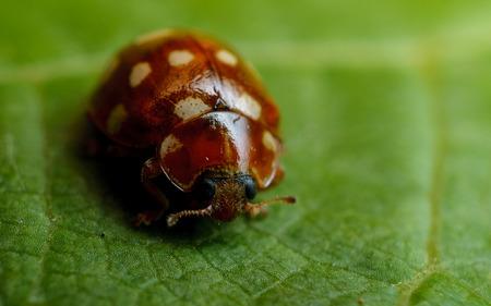 pronotum: Cream spot Ladybird - 14 spot Ladybird