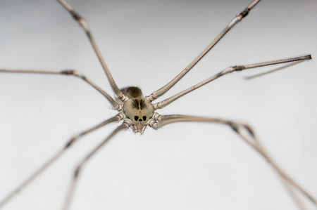 A macro shot of a Cellar Spider on a white background taken in the spring photo