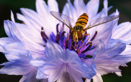 A macro photo of a Hoverfly on a purple and blue Cornflower photo