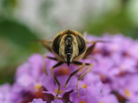 A macro photo of a Hoverfly on a purple Buddleja photo