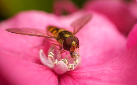 A Hoverfly feeding on a beautiful flower photo