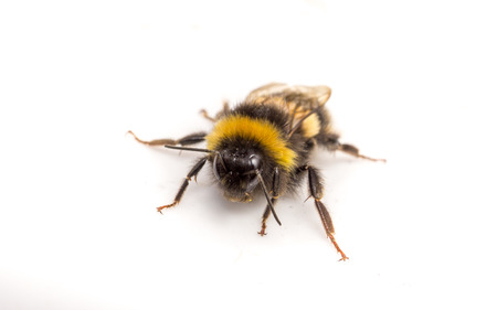 bumble bee: A Bumble Bee on a white background Stock Photo