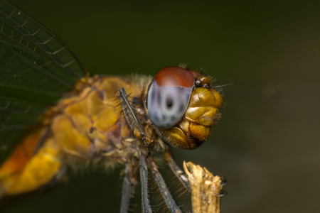 largely: Macro or close-up portrait of a Dragonfly - stock photo Stock Photo