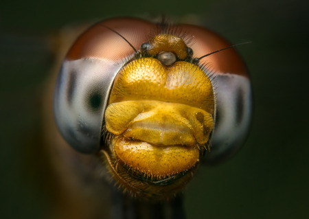 odonata: Macro or close-up portrait of a Dragonfly - stock photo Stock Photo
