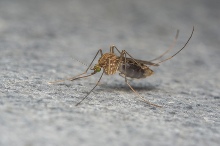 culicidae: Mosquito macro photo, insect, fly
