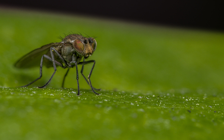 'compound eye': Macro photo of a Dolichopodidae fly, insect