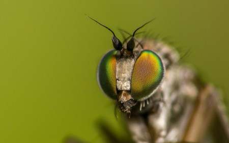 compound eyes: Macro photo of a Dolichopodidae fly, insect, stock photo