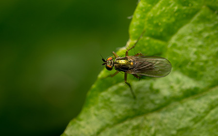 'compound eye': Macro photo of a Dolichopodidae fly, insect, stock photo