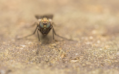 'compound eye': Dolichopodidae Fly, insect macro