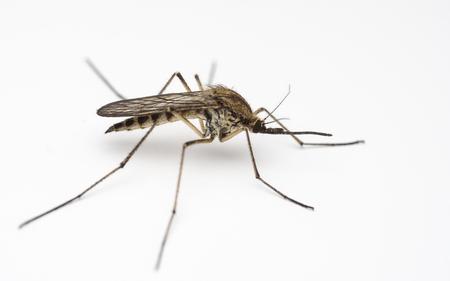 Mosquito - sfondo bianco