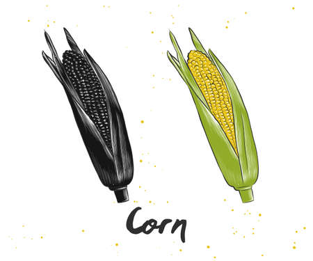 A Vector engraved style illustration for posters, decoration and print. Hand drawn sketch of corn in monochrome and colorful isolated on white background. Detailed vegetarian food drawing.