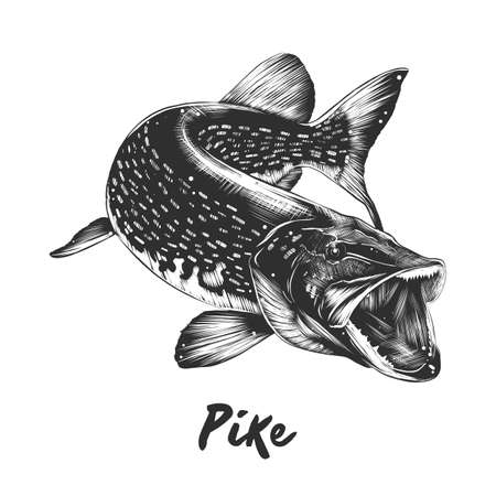 Vector engraved style illustration of pike. Vettoriali